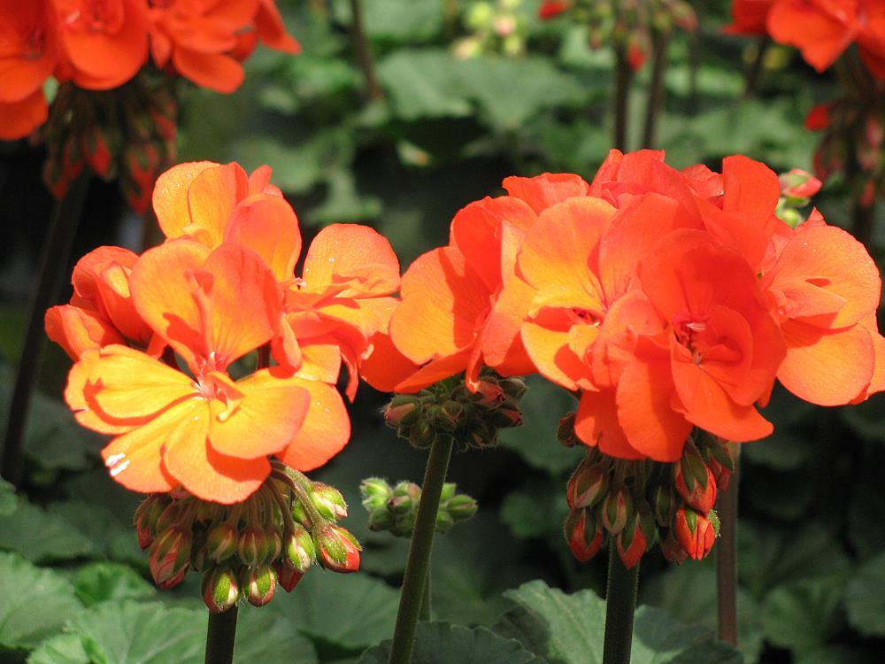 Balkonpflanzen märz  Balkonpflanzen | Blumen Siebrecht, Kassel